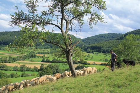 Schafe am Früchtetrauf (Foto: Armin Dieter)