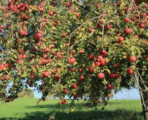 Apfelbaum am Dreifürstensteig (Foto: Armin Dieter)
