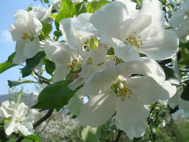 Apfelblüte in Mössingen