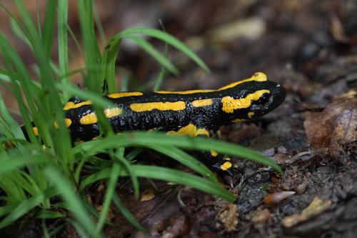 Salamander am Wegesrand (A Letsch)