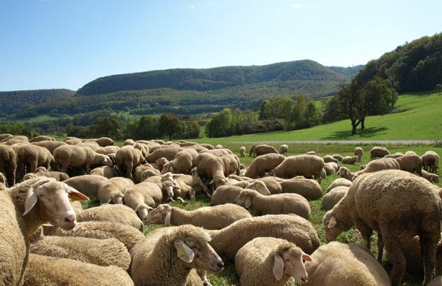 Schafe im Tal