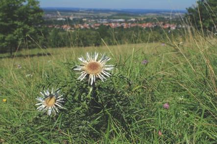 Silberdistel am Wegesrand (Armin Dieter)