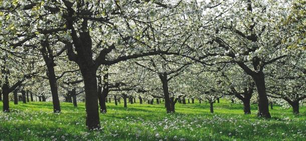 Blütenmeer Kirschenfeld