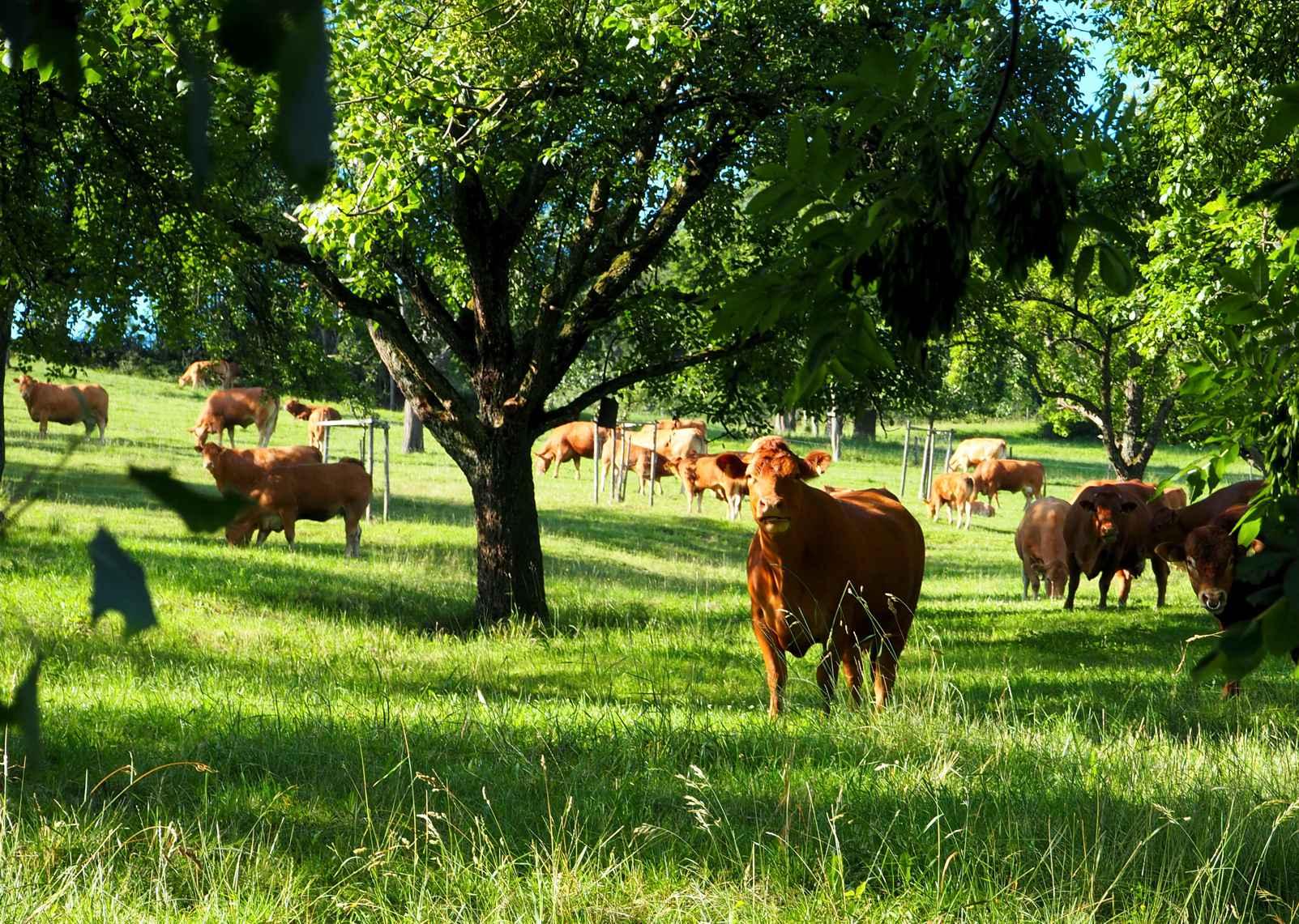 Weidende Kühe am Leisawegle