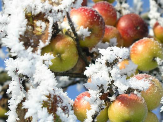 Winterapfel im Streuobstparadies