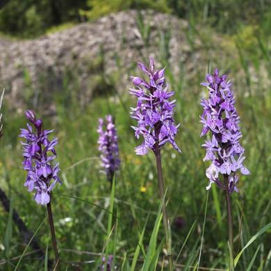 Orchideen in der Steinlandschaft
