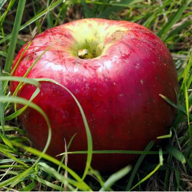 Jakob-Fischer-Apfel