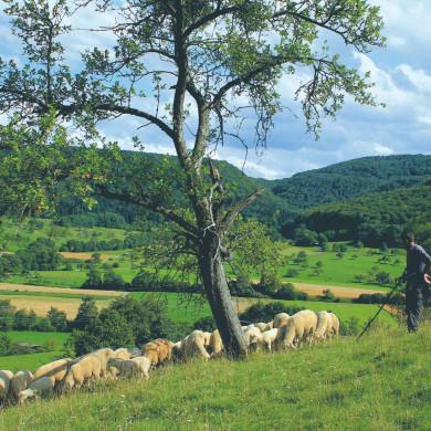 Schäfer im Albvorland bei Talheim