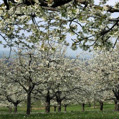 Streuobstblüte am Früchtetrauf