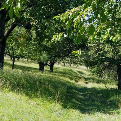 Obstbaumwiese im Sommerlicht
