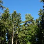 Nadelbäume in Mössingen