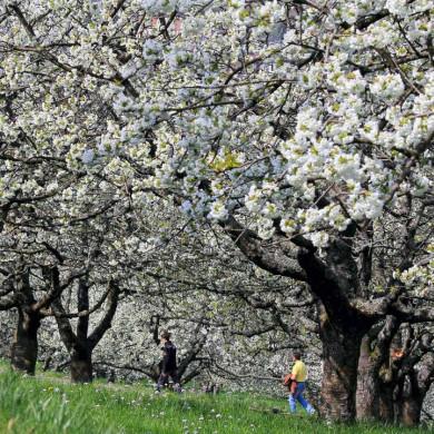 Streuobstwiesen zur Obstblüte